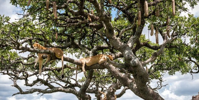 Luanët hipin në pemë për t'u freskuar